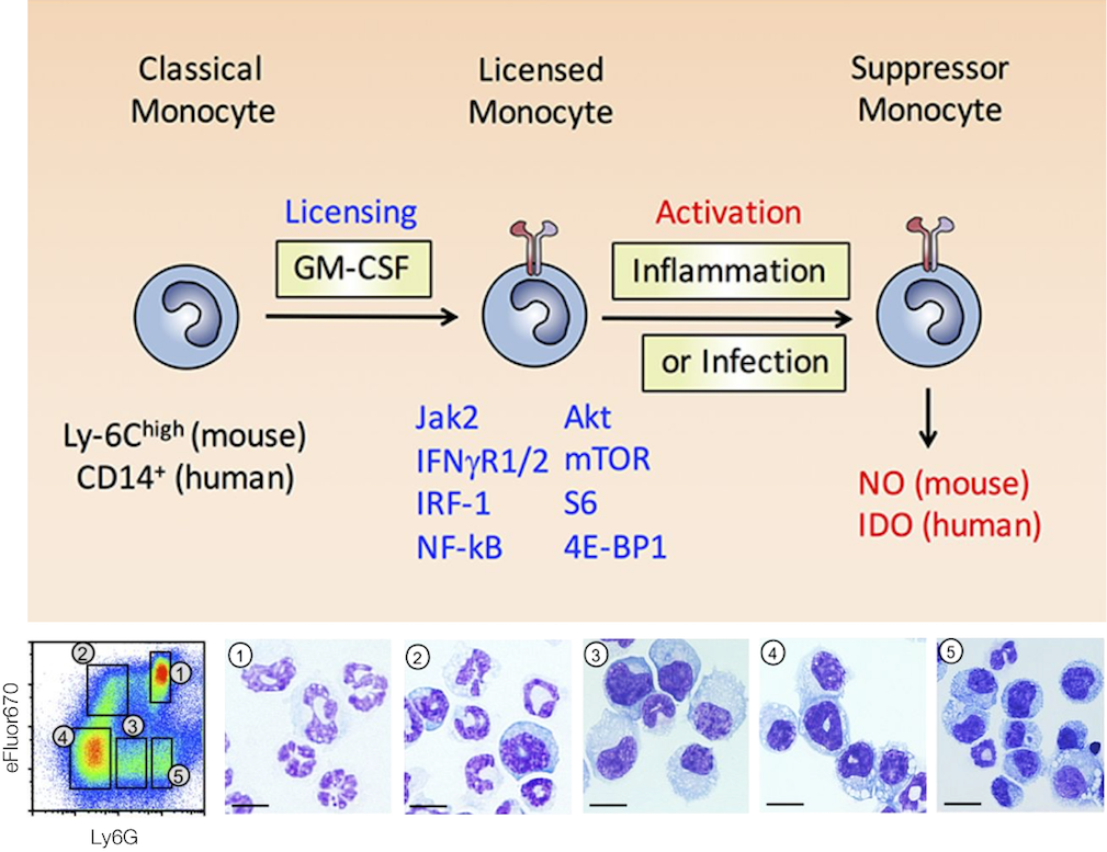 Two-step conversion of monocytes into immunosuppressive monocytes